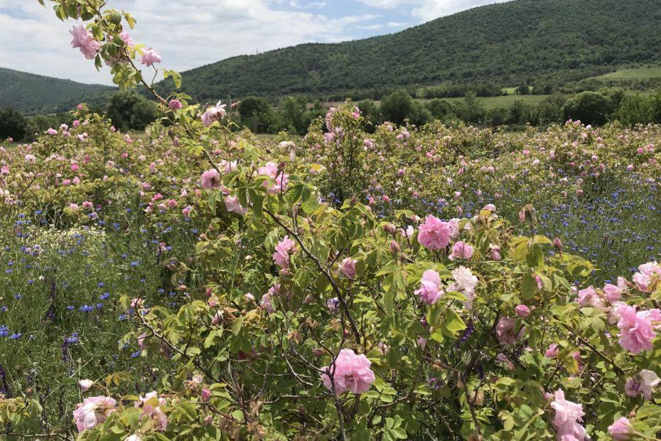 Българска роза – Нацъфтели, прецъфтели обрасли с бурени